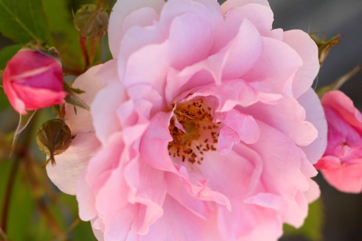 8803-wild-rose1