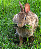 rabbit_grass