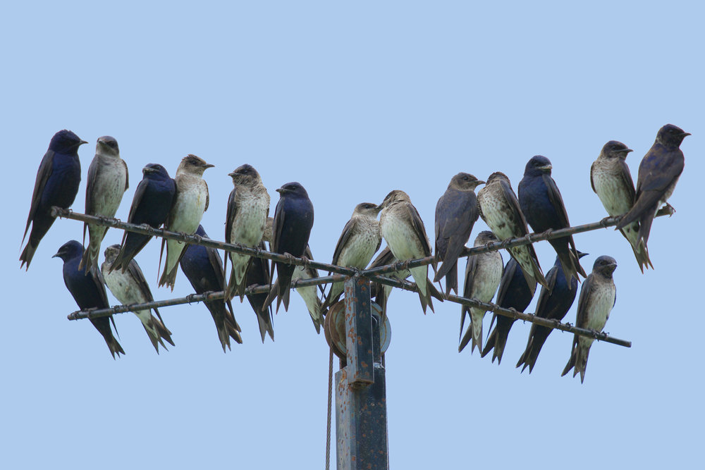 Purple Martins — Madison Audubon
